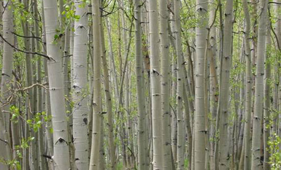 Photo of the Trembling Aspen trees.