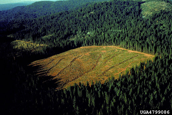 This forest in the northern Sierra Nevada mountains was clearcut to support the natural regeneration of Ponderosa Pine, Douglas-fir, Sugar Pine, California white fir, and Incense-cedar.