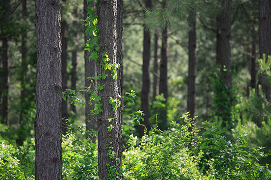 Young, healthy forests are carbon sinks because they're actively absorbing carbon dioxide as they grow. As forests mature, the rate of carbon uptake slows.