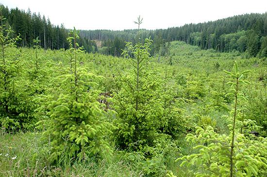 Douglas-fir working forest in Tillamook County, Oregon