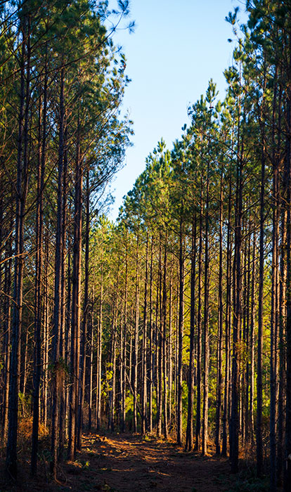 Thinning treatments were used in this Southern U.S. forest to support and encourage healthy growth.