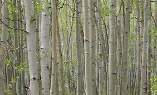 Photo of the Trembling Aspen trees.